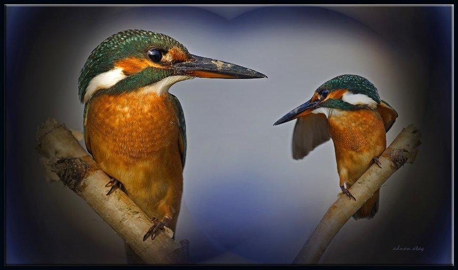 Yalıçapkını - Alcedo atthis - Kingfisher (Gölbaşı 2011) 5