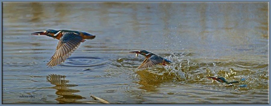 Yalıçapkını - Alcedo atthis - Kingfisher (Gölbaşı 2012) 1