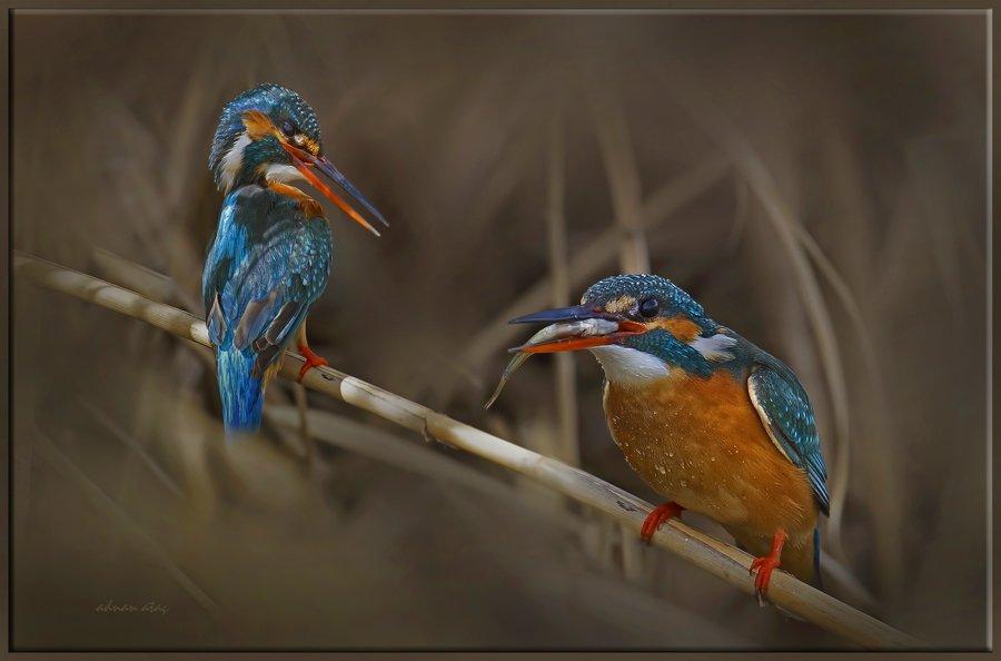 Yalıçapkını - Alcedo atthis - Kingfisher (Gölbaşı 2012) 2