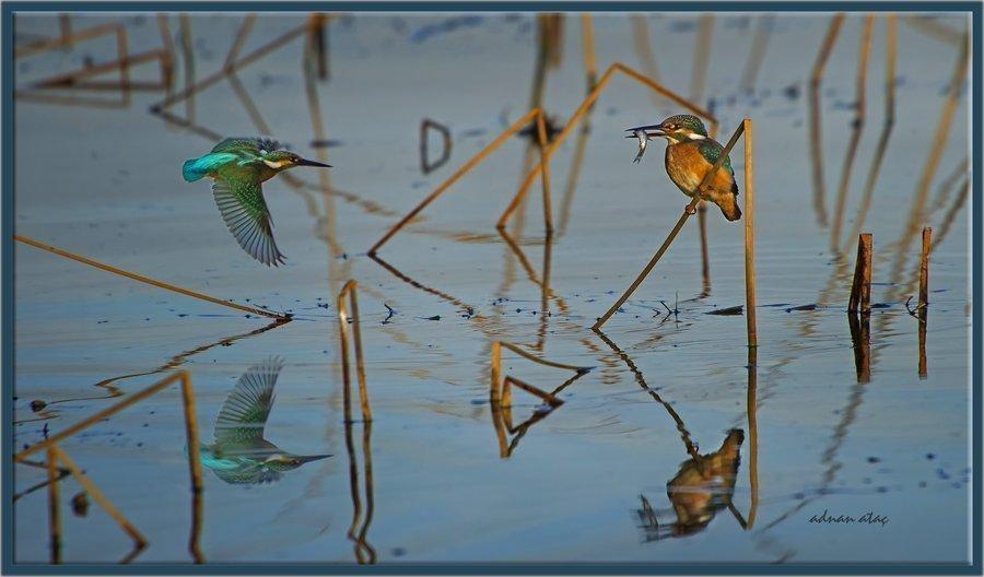 Yalıçapkını - Alcedo atthis - Kingfisher (Gölbaşı 2013) 1