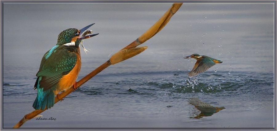 Yalıçapkını - Alcedo atthis - Kingfisher (Gölbaşı 2013) 3