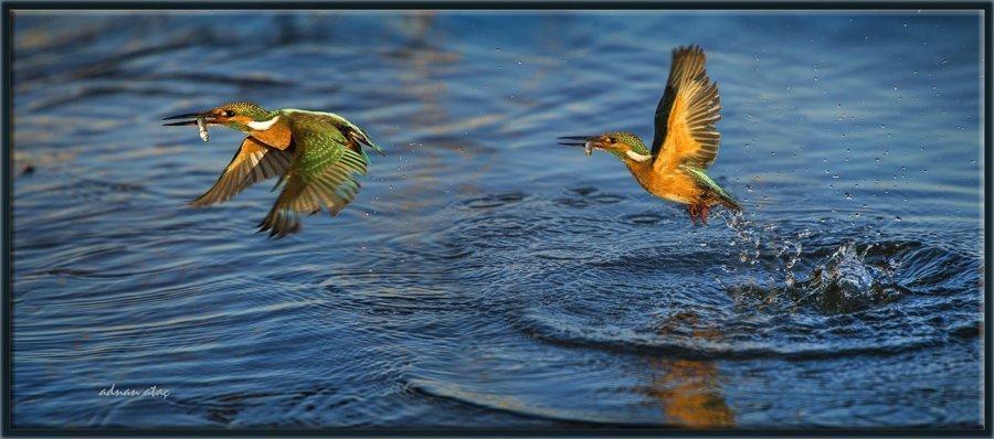 Yalıçapkını - Alcedo atthis - Kingfisher (Gölbaşı 2013) 4