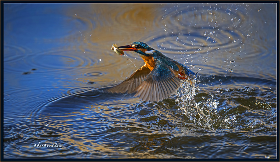 Yalıçapkını - Alcedo atthis - Kingfisher (Gölbaşı 2015)