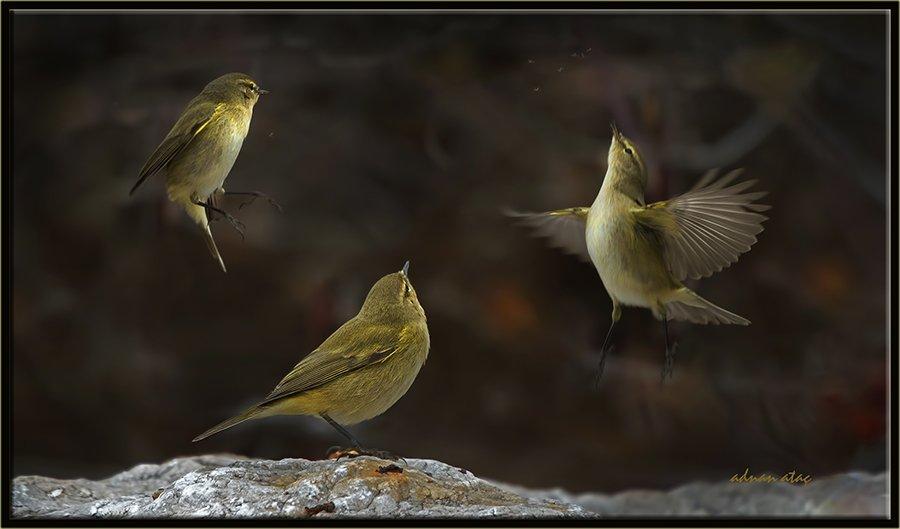 Çıvgın - Phylloscopus collybita - Common Chiffchaff (Gölbaşı 2013)