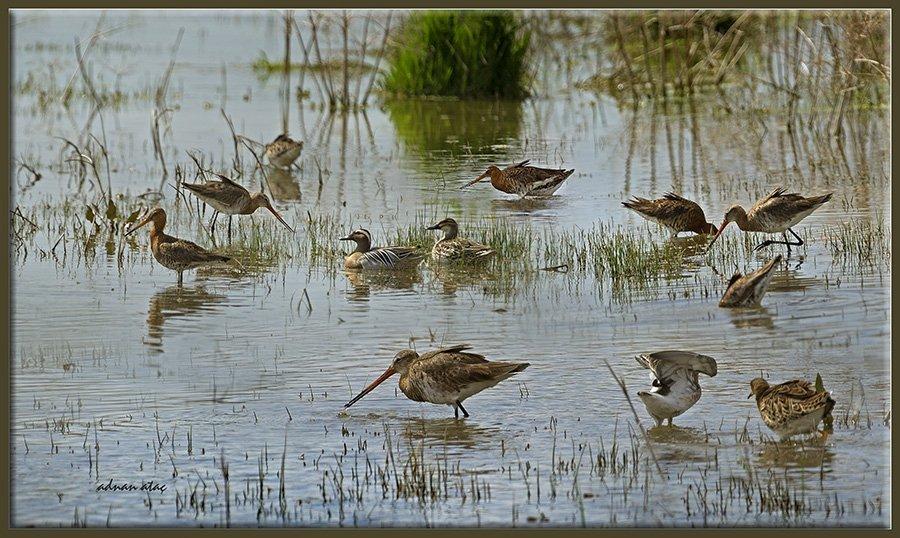 Çamurçulluğu - Limosa limosa - Black-tailed Godwit (Gölbaşı 2013)