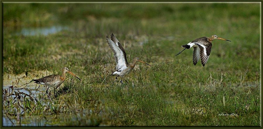 Çamurçulluğu - Limosa limosa - Black-tailed Godwit (Kozanlı 2013)