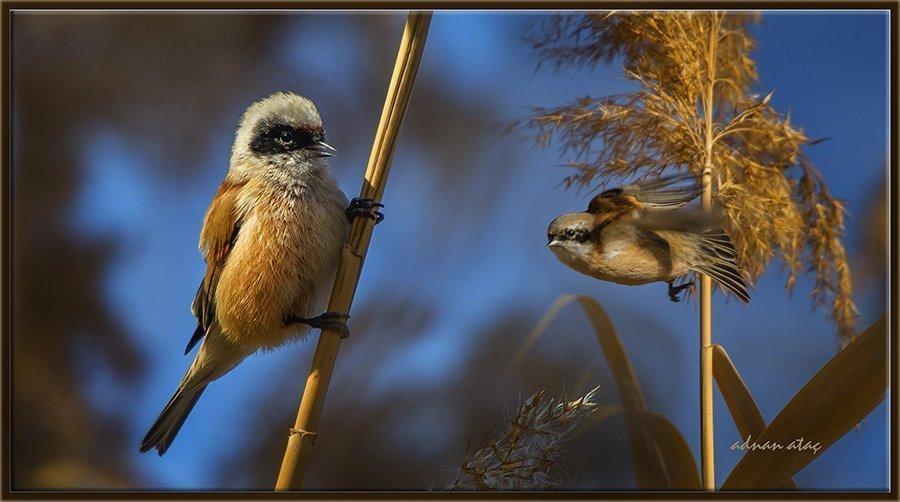 Çulhakuşu - Remiz pendulinus - Penduline tit (Gölbaşı 2013)