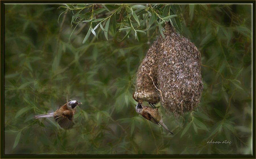 Çulhakuşu - Remiz pendulinus - Penduline tit (Gölbaşı 2014)