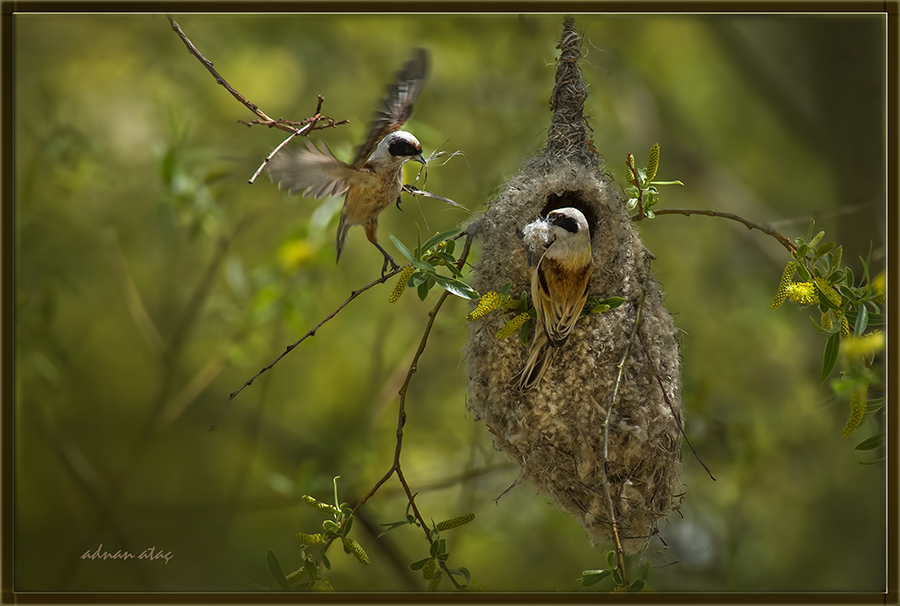 Çulhakuşu - Remiz pendulinus - Penduline tit (Gölbaşı 2014) Yuvalarını yaparken