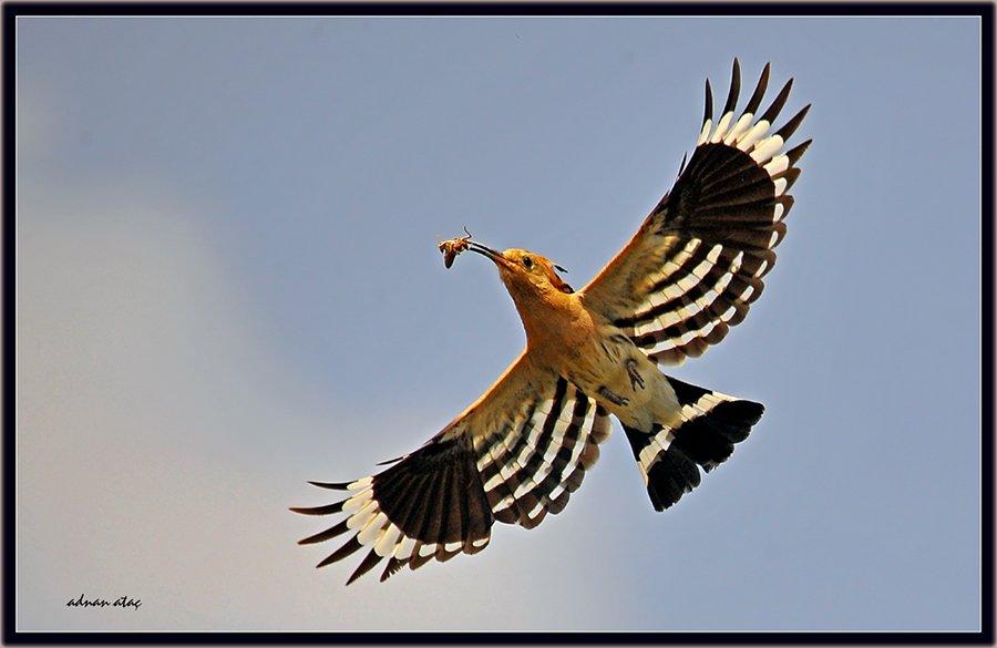 İbibik - Upupa epops - Eurasian Hoopoe (Gölbaşı 2010)
