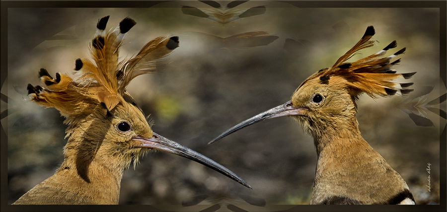 İbibik - Upupa epops - Eurasian Hoopoe (Gölbaşı 2011)