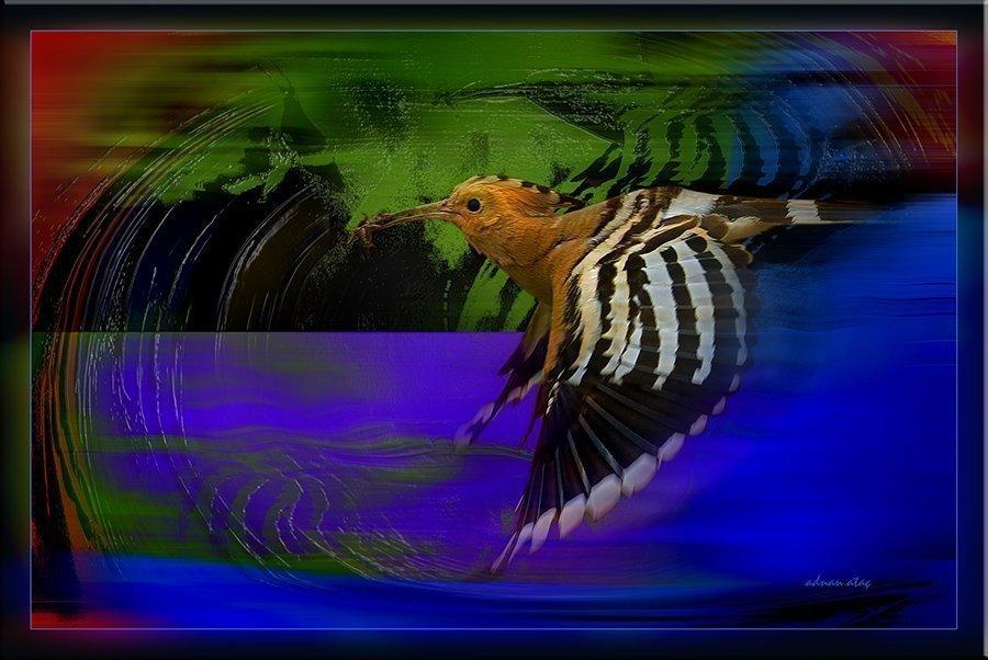 İbibik - Upupa epops - Eurasian Hoopoe (Gölbaşı 2012)