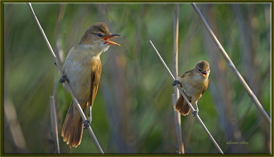 Büyük Kamışcın - Acrocephalus arundinaceus - Great Reed Warbler (Gölbaşı 2012)