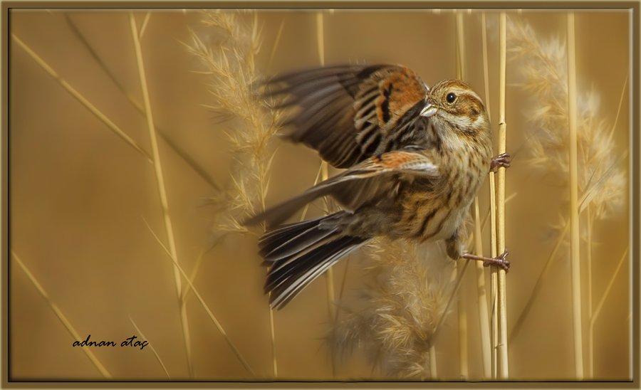Bataklık çintesi - Emberiza schoeniclus - Common Reed Bunting (Gölbaşı 2010)