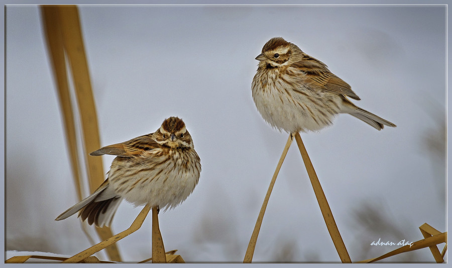 Bataklık çintesi - Emberiza schoeniclus - Common Reed Bunting (Gölbaşı 2012)