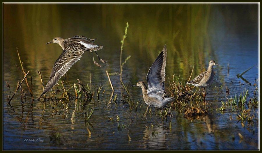 Döğüşkenkuş - Philomachus pugnax - Ruff (Gölbaşı 2011)