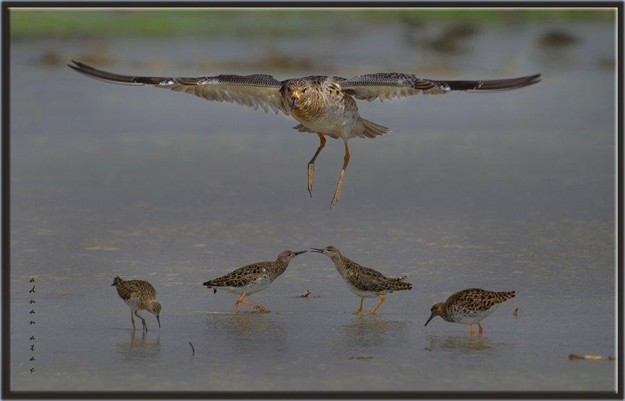 Döğüşkenkuş - Philomachus pugnax - Ruff (Gölbaşı 2012)