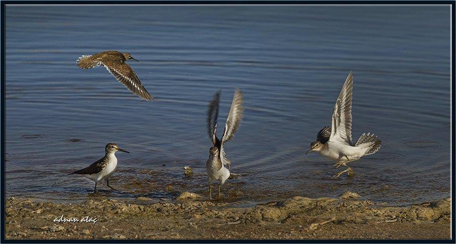 Dere düdükçünü - Actitis hypoleucos - Common Sandpiper (Gölbaşı 2014)