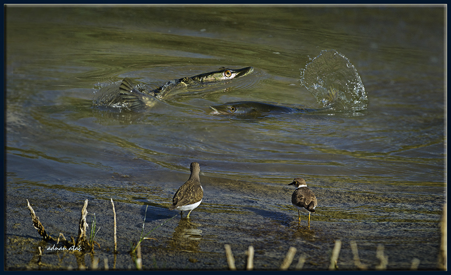 Dere düdükçünü-Halkalı-küçük cılıbıt ve Turna balıkları (Gölbaşı 2012)