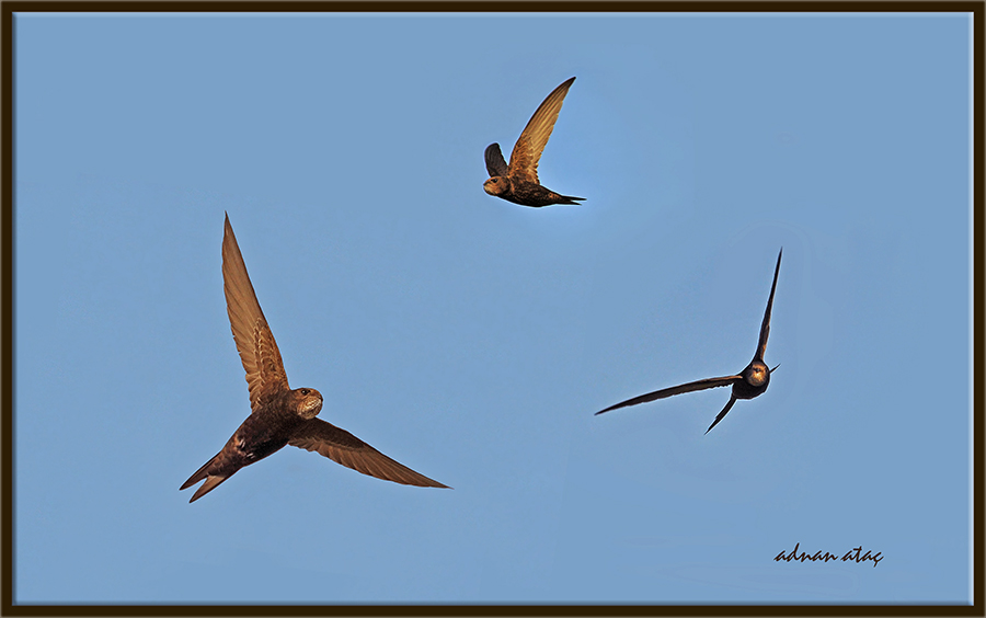 Ebabil - Apus apus - Common Swift (Ankara 2010)