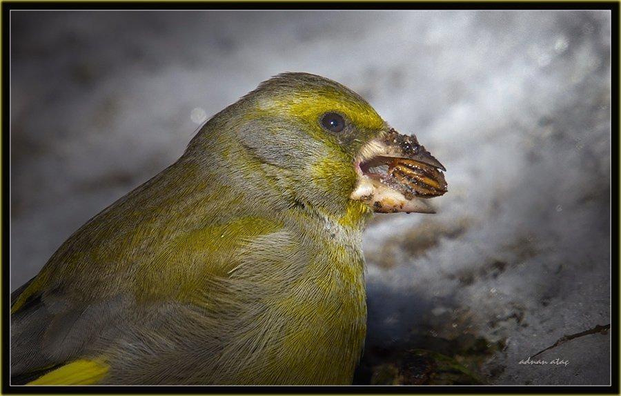 Florya - Chloris chloris - European Greenfinch (Gölbaşı 2011)