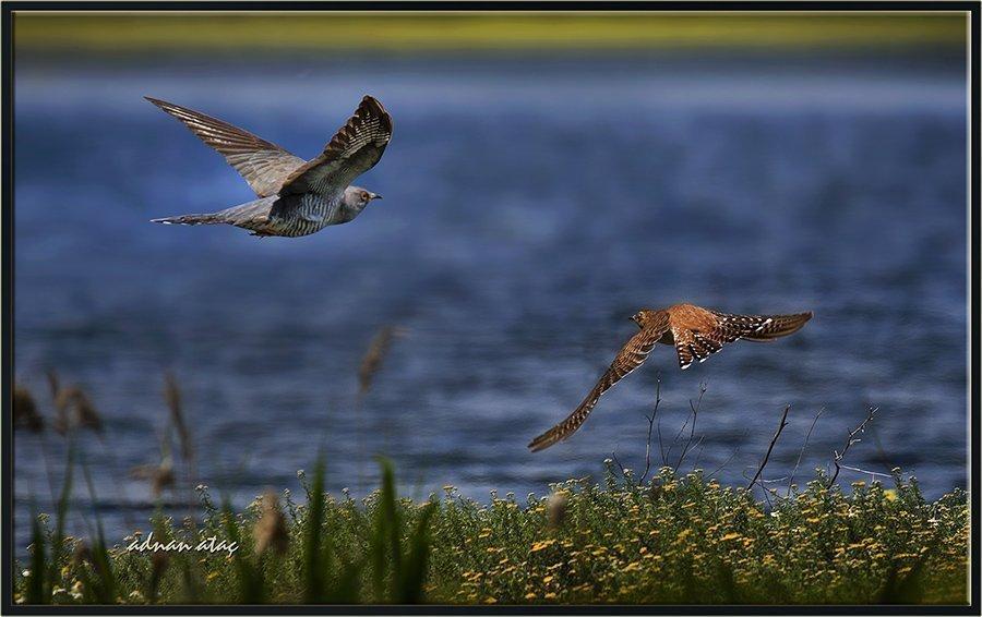 Gugugkuşu - Cuculus canorus - Common Cuckoo (Eskişehir 2015)
