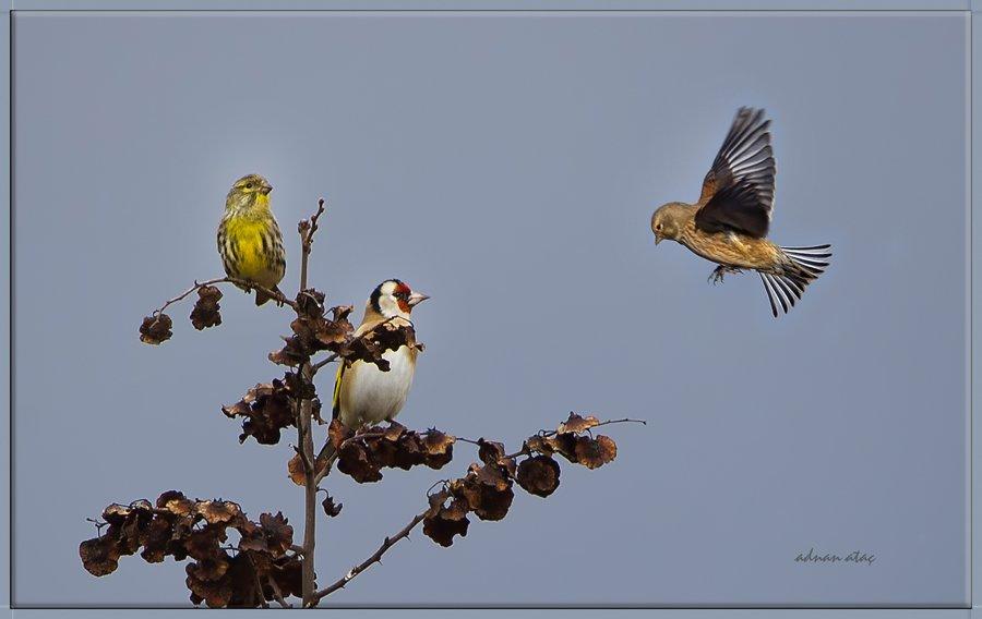 Küçük iskete - Serinus serinus -  European Serin (Adana 2012) Saka ve Ketenkuşu ile