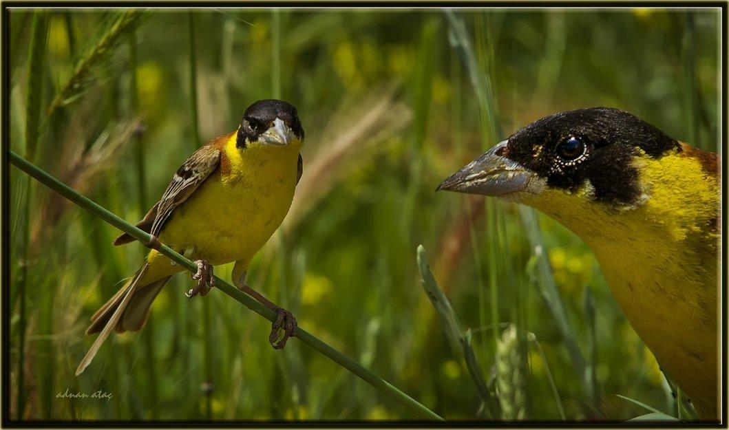 Karabaşlı çinte - Emberiza melanocephala - Black-headed Bunting (Ankara 2011)