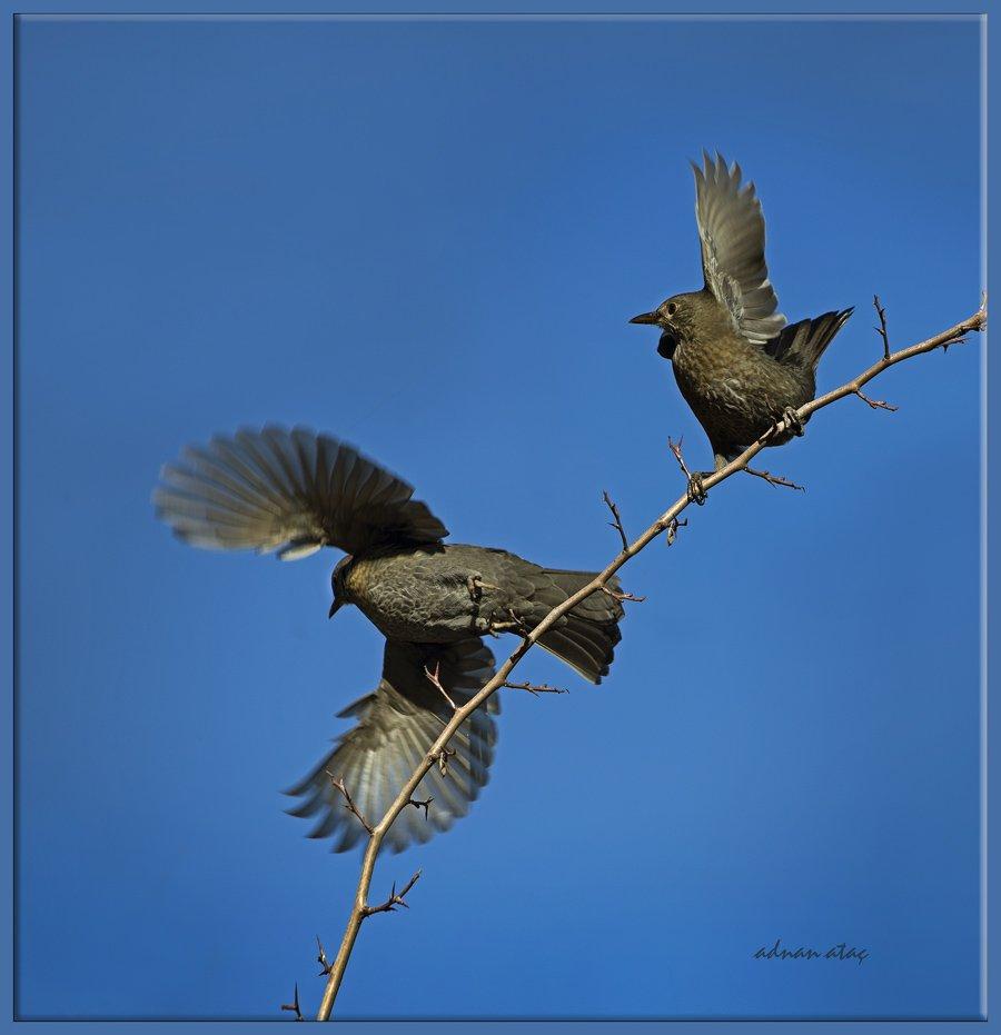 Karatavuk - Turdus merula - Common Blackbird (Ankara 2013)