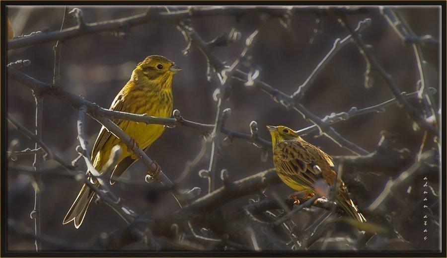 Sarı çinte - Emberiza citrinella - Yellowhammer (Gölbaşı 2014)