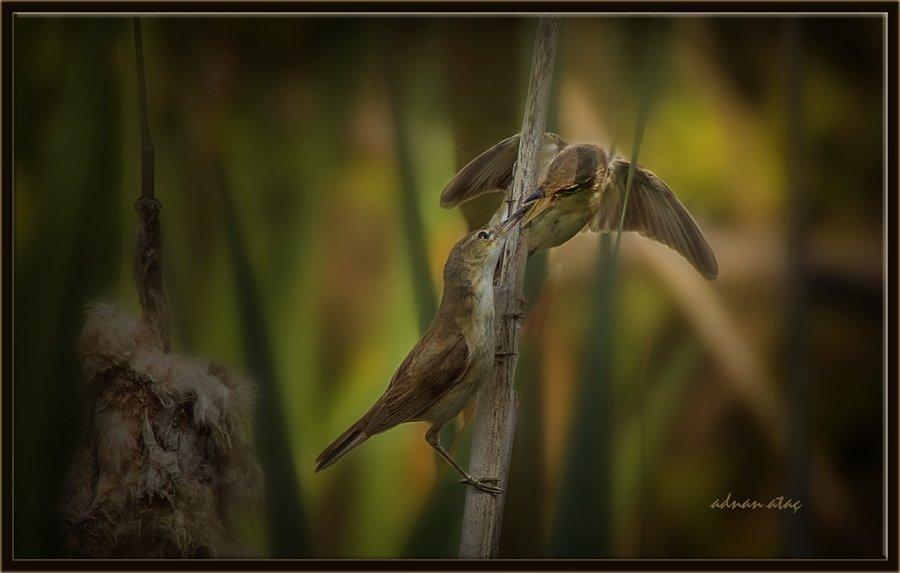 Saz kamışcını (saz bülbülü) - Acrocephalus scirpaceus - Eurasian Reed Warbler (Gölbaşı 2014)