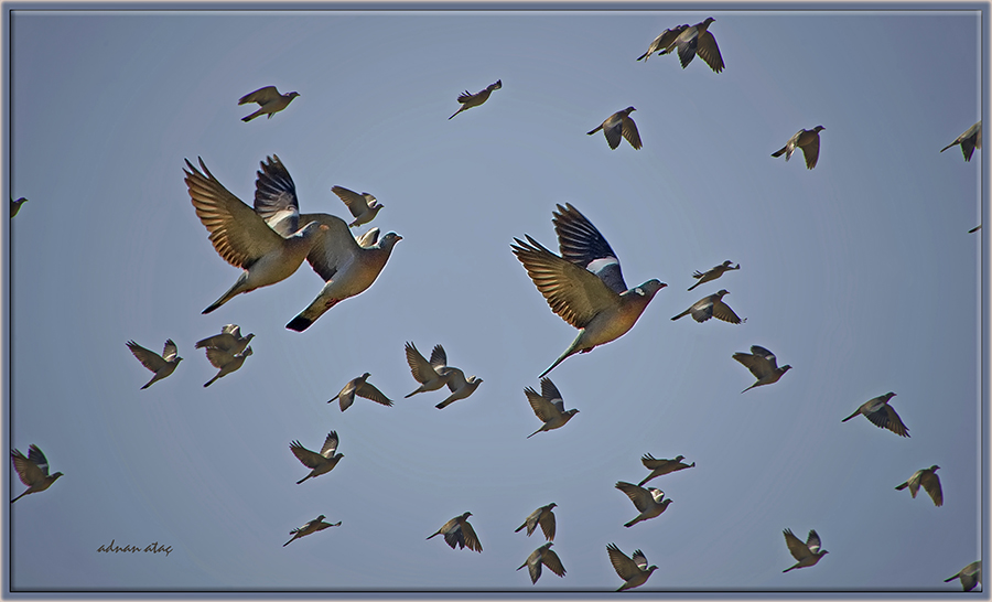 Tahtalı güvercin - Columba palumbus - Common Wood Pigeon (Şanlıurfa 2013)
