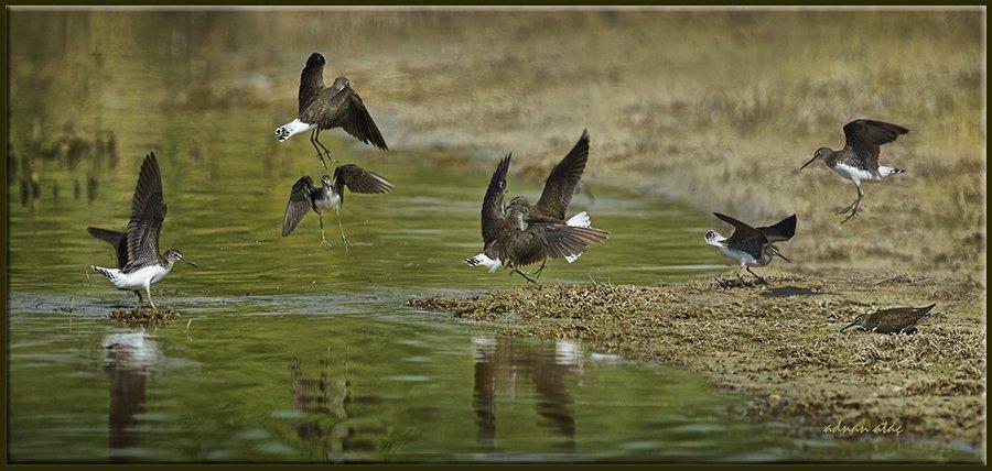 Yeşil Düdükçün - Tringa ochropus - Green Sandpiper (Gölbaşı 2012) Kur dansları