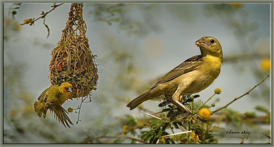 Yemen dokumacı kuşu - Ploceus galbula - Rüppell's weaver (Jizan 2014)