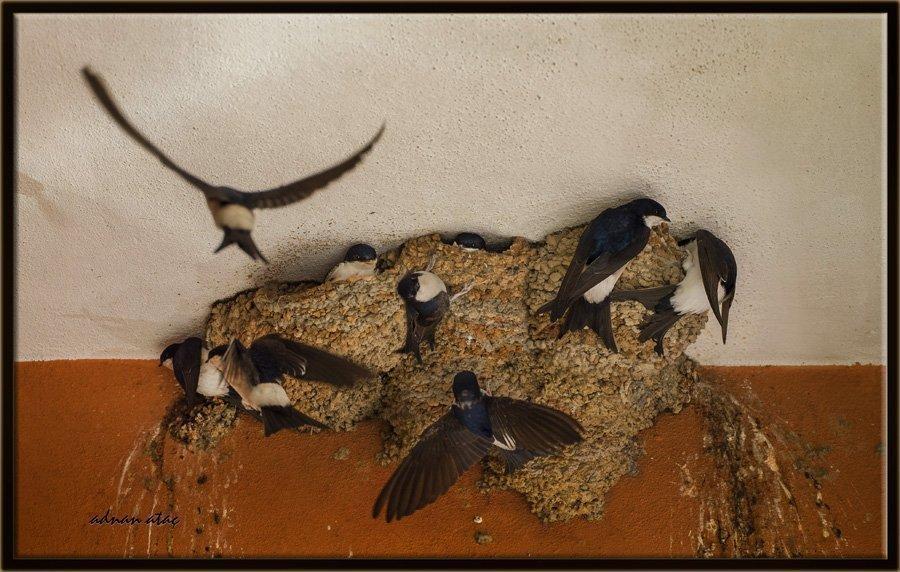 Ev kırlangıcı - Delichon urbicum - Common House Martin (Adana 2014)