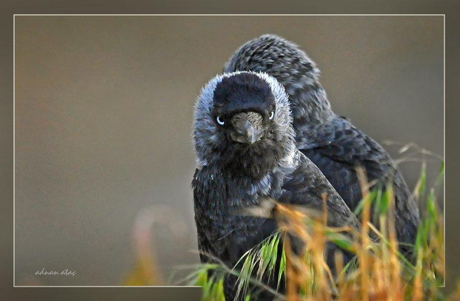 Küçük karga - Coloeus monedula - Western Jackdaw (Sarıkamış 2010)