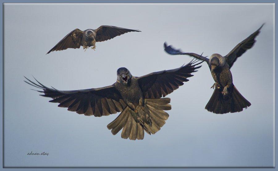 Küçük karga - Coloeus monedula - Western Jackdaw (Sarıkamış 2012)