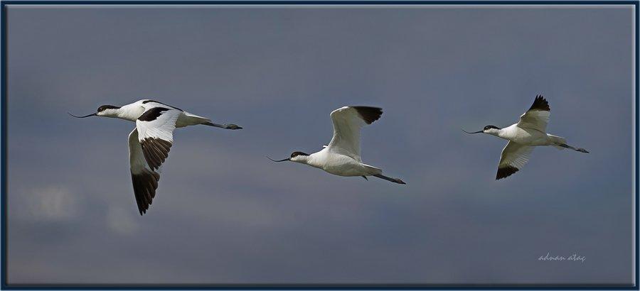 Kılıçgaga - Recurvirostra avosetta - Pied Avocet (Gölbaşı 2012)