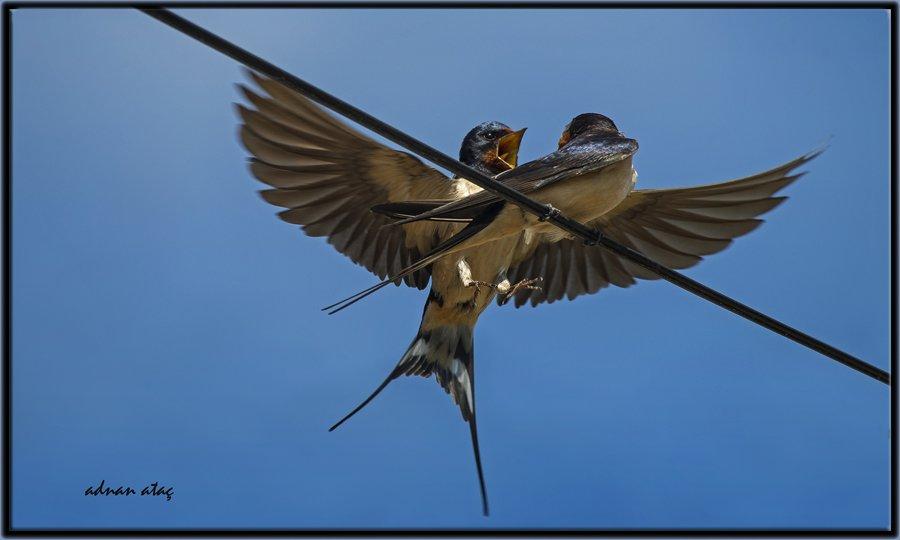 Kır kırlangıcı - Hirundo rustica - Barn Swallow (Amasya 2014)
