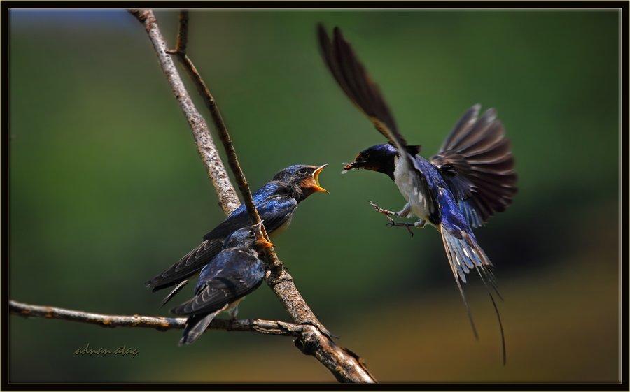 Kır kırlangıcı - Hirundo rustica - Barn Swallow (Ankara 2010)