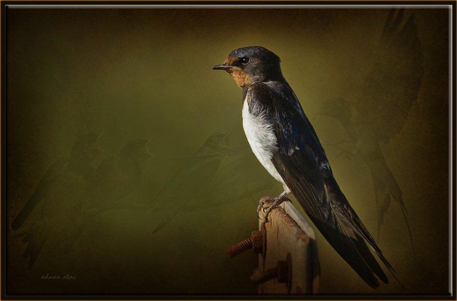 Kır kırlangıcı - Hirundo rustica - Barn Swallow (Gölbaşı 2011)