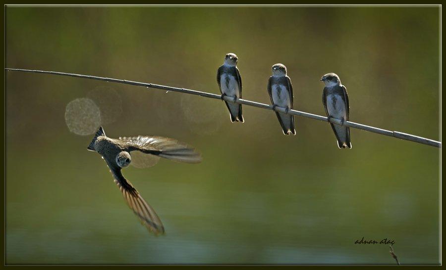 Kır kırlangıcı - Hirundo rustica - Barn Swallow (Gölbaşı 2012)