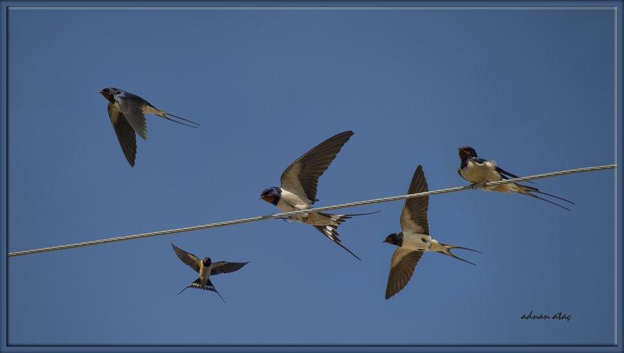 Kır kırlangıcı - Hirundo rustica - Barn Swallow (Gölbaşı 2014)