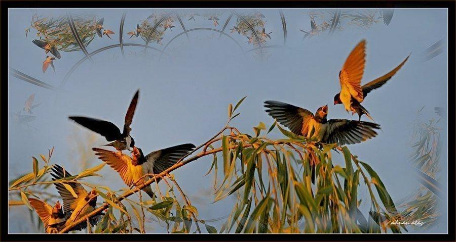 Kır kırlangıcı - Hirundo rustica - Barn Swallow (Konya 2009)