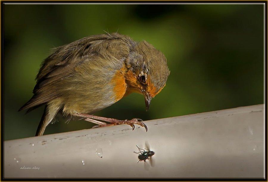 Kızılgerdan - Erithacus rubecula - European Robin (Berlin 2011)