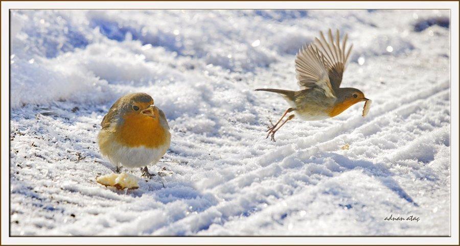 Kızılgerdan - Erithacus rubecula - European Robin (Gölbaşı 2011) 3