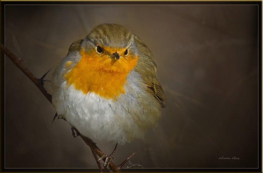 Kızılgerdan - Erithacus rubecula - European Robin (Gölbaşı 2011)