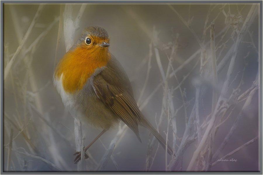 Kızılgerdan - Erithacus rubecula - European Robin (Gölbaşı 2012)