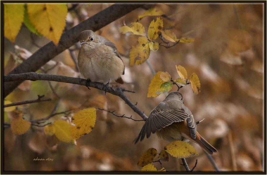 Kızılkuyruk - Phoenicurus phoenicurus - Common Redstart (Bodrum 2013)