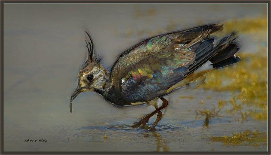 Kızkuşu - Northern Lapwing - Vanellus vanellus (Gölbaşı 2012)